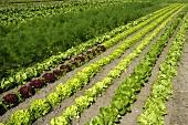 Fresh lettuce in the field