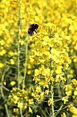 Rape flowers in the field with a bumblebee