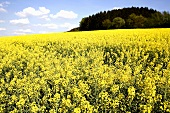 Flowering rape field