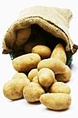 Ein Sack Kartoffeln der Sorte 'Cilena'