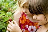 Two girls picking raspberries