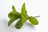 A sprig of mint (Hemingway mint)