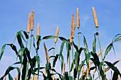 A field of millet
