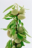 Almonds on branch