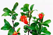 Pomegranate tree with flowers