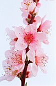 Blossom of the cherry plum tree