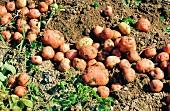 Kartoffeln auf der Erde nach der Ernte