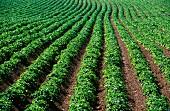 A field of potatoes