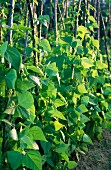 Anbau Grüne Bohnen