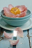 Peony in blue bowl of water