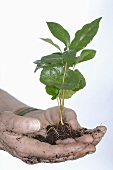 Hands holding coffee plant