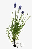 Flowering lavender plant