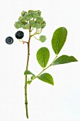 Blueberries on twig with leaves (ripe and unripe)