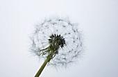 A dandelion clock