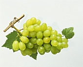 Green grapes with vine leaves and morning dew
