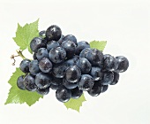 Black grapes with vine leaves and dew