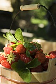 Fresh strawberries with leaves in wooden bucket