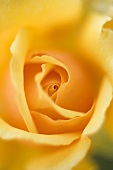 Yellow rose (close-up)