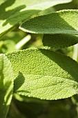 Sage leaves (detail)