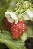 Erdbeeren (reif, unreif und Blüten) an der Pflanze