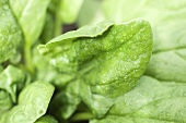 Spinach leaves with drops of water (detail)
