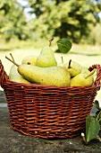 Fresh pears in basket on stone wall in garden