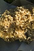 Cauliflower mushroom (edible mushroom)