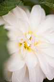 White dahlia (close-up)