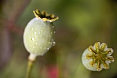 Poppy seed heads with drops of water
