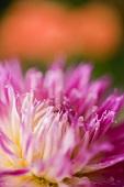 Pinky purple dahlia