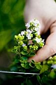 Hand holding flowering marjoram