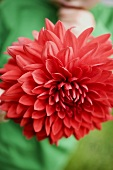 Child holding a red dahlia