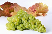Green grapes, variety Muskateller, with leaves