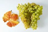 Grüne Trauben, Sorte Gutedel, mit Blatt