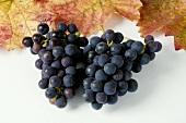 Black grapes, variety Spätburgunder, with leaves
