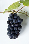 Black grapes, variety Müllerrebe, with leaves