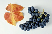 Black grapes, variety Boskoops Glory, with leaf