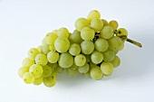 Green grapes, variety Reichensteiner