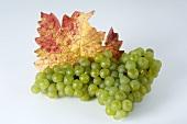 Grüne Trauben, Sorte Weisser Gutedel, mit Blatt