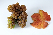 Grapes, variety Traminer, with leaf