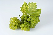Green grapes, variety Moria Muskat, with leaf