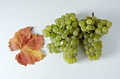 Green grapes, variety Scheurebe, with leaf
