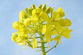 Yellow mustard flower in the open air
