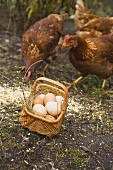 Eggs in a basket, free-range hens behind it