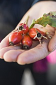 Hand holding a few rose hips with leaf