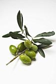 Olive sprig with green olives