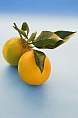 Two oranges with leaves on light blue background