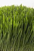 Wheatgrass (detail)