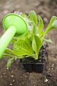 Watering lettuce plants
