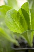 Lettuce plant (close-up)